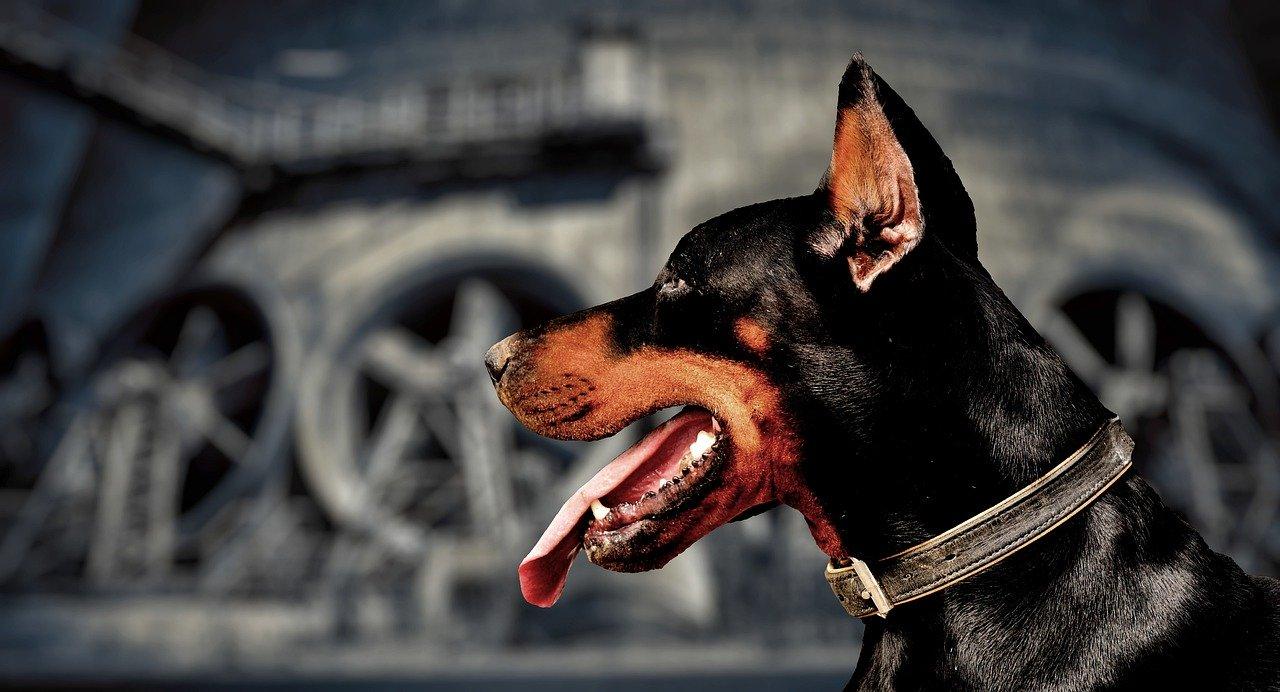 guard-dog-4378444_1280.jpg